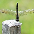 Dragonfly Doing A Handstand by Lynne Miller