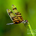 Dragonfly Eating by Stephen Whalen