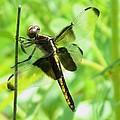 Dragonfly Female Widow Skimmer by Eric Noa