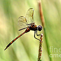 Dragonfly Gold by Richard Gripp