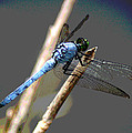 Dragonfly - Great Blue Skimmer by Greg Thiemeyer