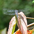 Dragonfly In Early Autumn by Anita Adams