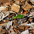 Dragonfly In Mulch by Stephen Whalen