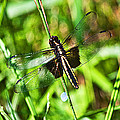 Dragonfly Ins 22 by G L Sarti