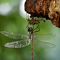 Dragonfly by Jane Ford