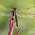 Dragonfly Macro On Top Of A Flowering Plant by Brandon Alms