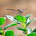 Dragonfly by Marilyn Holkham