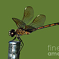 Dragonfly by Meg Rousher