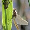 Dragonfly Metamorphosis - Eighth In Series by Doris Potter