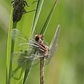 Dragonfly Metamorphosis - Eleventh In Series by Doris Potter