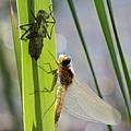 Dragonfly Metamorphosis - Seventh In Series by Doris Potter