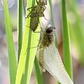 Dragonfly Metamorphosis - Sixth In Series by Doris Potter