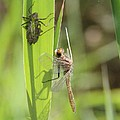 Dragonfly Metamorphosis - Tenth In Series by Doris Potter