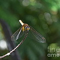 Dragonfly by Michelle Meenawong