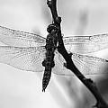 Dragonfly Mosaic by Joe Schofield