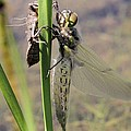 Dragonfly Newly Emerged - First In Series by Doris Potter