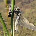 Dragonfly Newly Emerged - Second In Series by Doris Potter