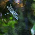 Dragonfly No 1 by Belinda Greb