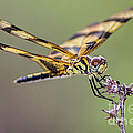 The Halloween Pennant Dragonfly by Olga Hamilton