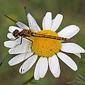 Dragonfly On A Daisy by Doris Potter