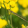 Dragonfly On Birds-foot Trefoil by James Peterson