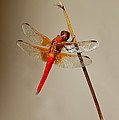Dragonfly On Dead Reed by Anthony Mercieca