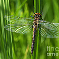 Dragonfly On Grass by Sharon Talson