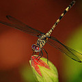 Dragonfly On Hibiscus by Leticia Latocki