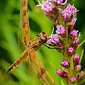 Dragonfly On Liatris by Robert Mitchell