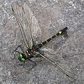 Dragonfly On Rock by David Mayeau