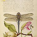 Dragonfly-pear-carnation And Insect by Getty Research Institute