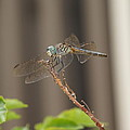 Dragonfly Profile by Megan Cohen