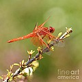 Dragonfly Resting by Art Block Collections