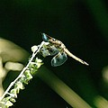 Dragonfly Resting In The Wind  by Jeff Swan