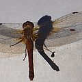 Dragonfly Sees Itself Shadowed II by Ronda Broatch
