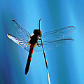 Dragonfly Silhouette by Jean Booth