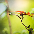 Dragonfly Smile by Priya Ghose