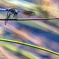 Dragonfly Walking A Tightrope by John Haldane