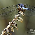 Dragonfly Wing Details by Lilliana Mendez