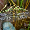 Dragonfly X-ray by Mae Wertz