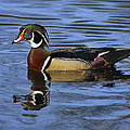 Drake Wood Duck by Tony Beck