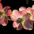 Dramatic Dogwood Flowers by Richard Rutan