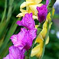 Dramatic Gladiolus by Carol Groenen