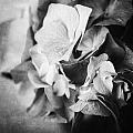 Dramatic Hydrangea In Black And White by Lisa Russo