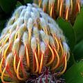 Dramatic Protea Flower by Carol Groenen