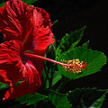 Dramatic Red Hibiscus by Lynn Bauer