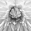 Dramatic White Dahlia Flower Monochrome by Jennie Marie Schell