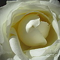 Dramatic White Rose 2 by Tara  Shalton