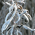 Draped In Frost by Frank Townsley