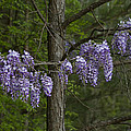 Draping Wisteria Frutescens Wildflower Vines by Kathy Clark